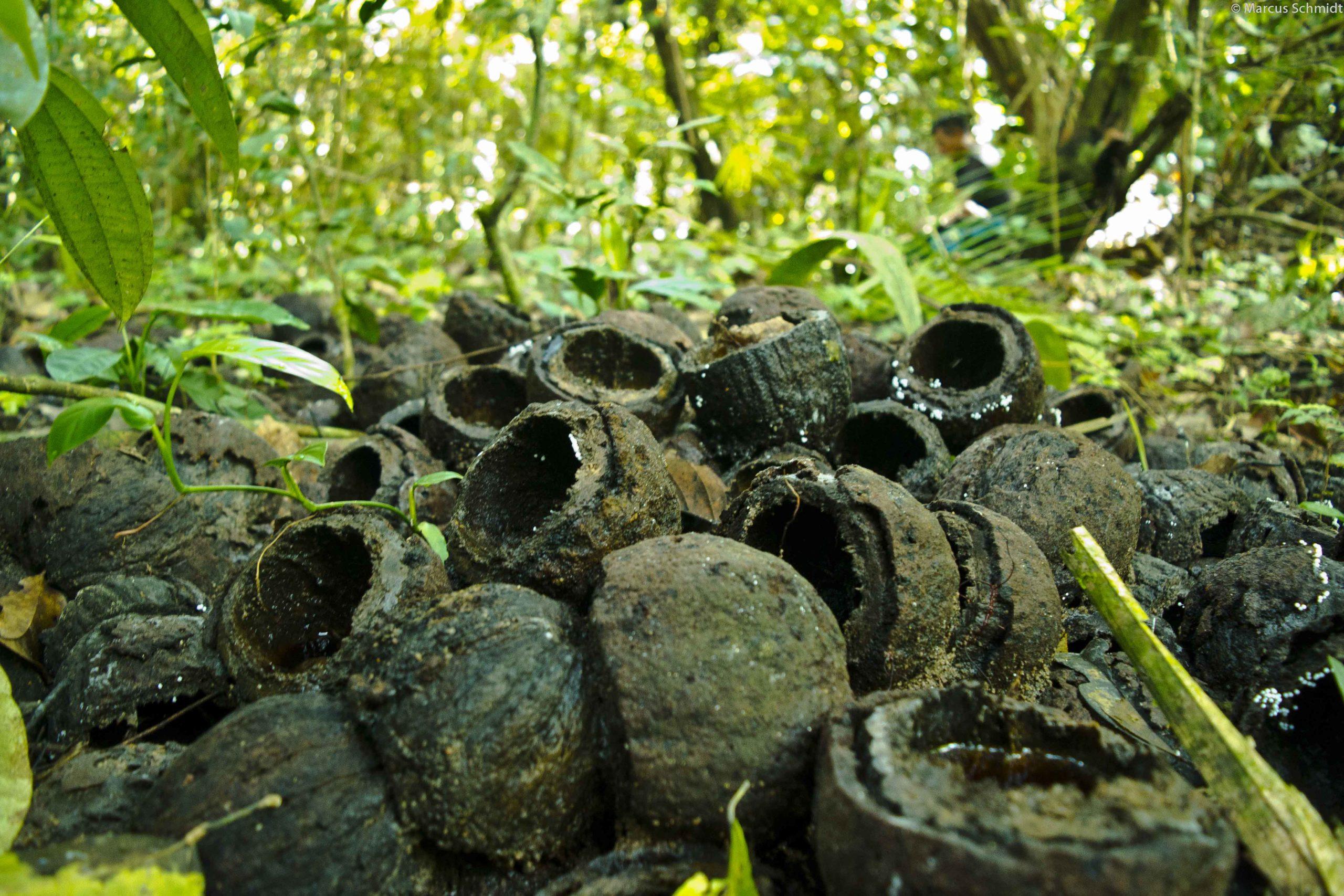 Coleta de castanhas T.I Arara - PA