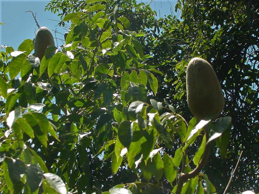 Frutos na copa da árvore de mogno. T.I. Panará - MT