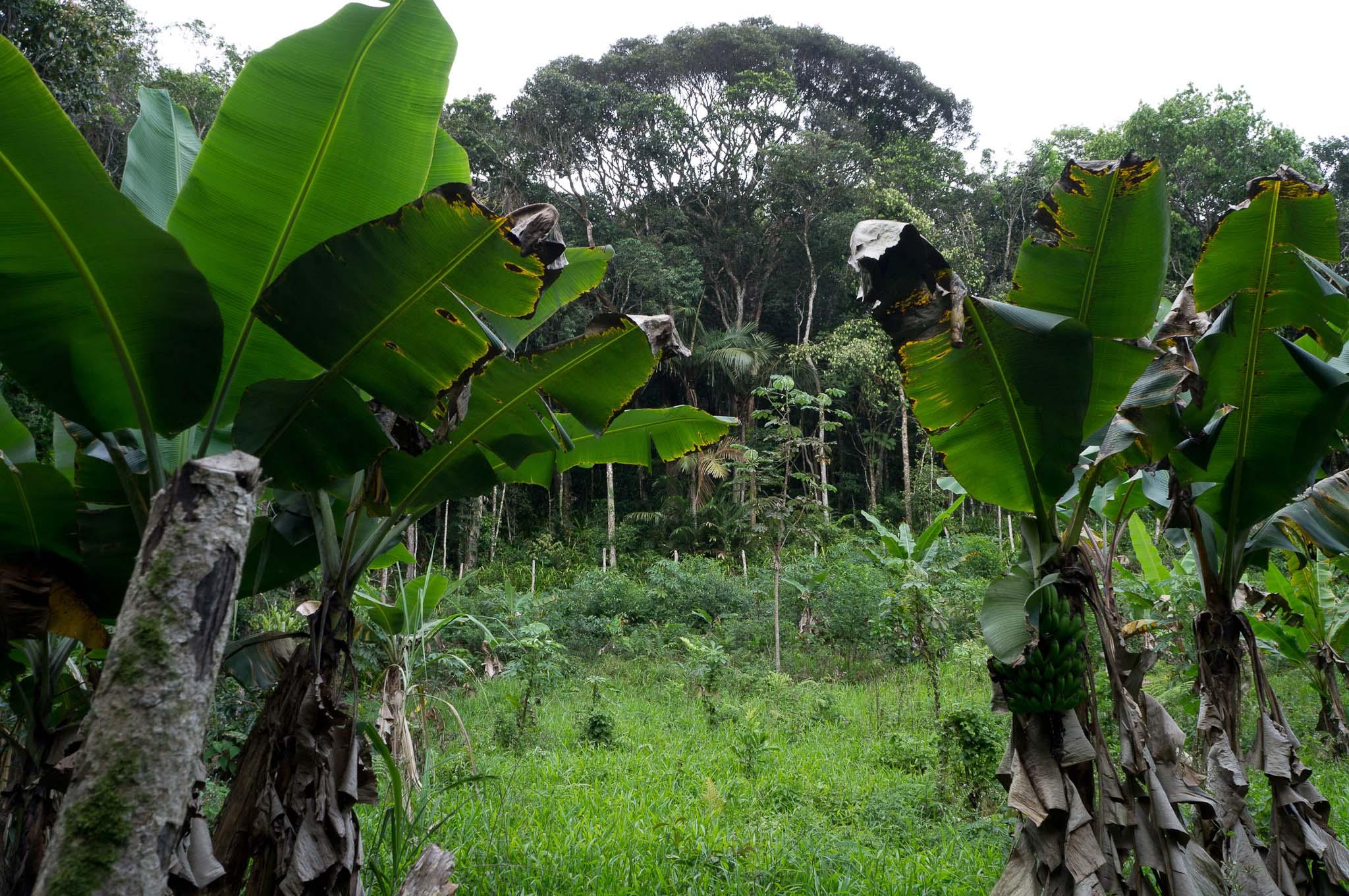 Roça Caiçara na EEJI - Iguape-SP